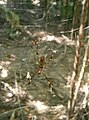 Golden Silk Spider in Sendero Los Curumos Punta Sal.JPG