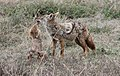 Golden Wolf (Canis anthus) with pup (50610854776).jpg