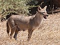 Golden jackal female.jpg