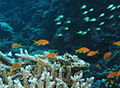 Goldies and chromis at Gota Abu Ghusur Reef, Red Sea, Egypt -SCUBA -UNDERWATER -PICTURES (6426115765).jpg