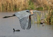 Goliath Heron, Ardea goliath at Marievale Nature Reserve, Gauteng, South Africa (20360657813).jpg