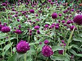 Gomphrena globosa from Lalbagh flower show Aug 2013 8113.JPG