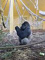 Gorila de llanura. Cabárceno.jpg