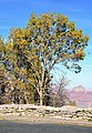 Grand Canyon National Park, Gambel Oak in Fall 1704 - Flickr - Grand Canyon NPS.jpg