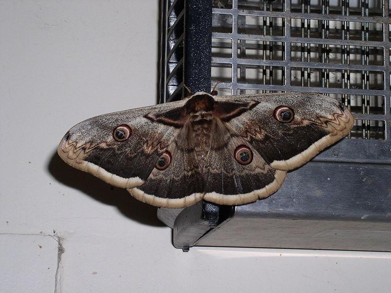 Papillon sphinx t te de mort les papillons - Gros papillon de nuit dangereux ...