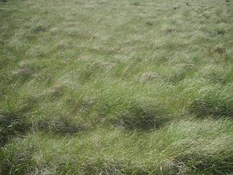 Poaceae - Wind-blown grass in the Valles Caldera in New Mexico