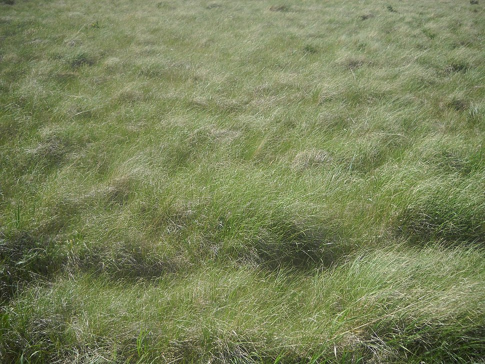 Grasses in the Valles Caldera 2014-06-26