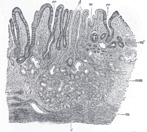 Gastric glands - Cardiac glands shown at c and their ducts at d
