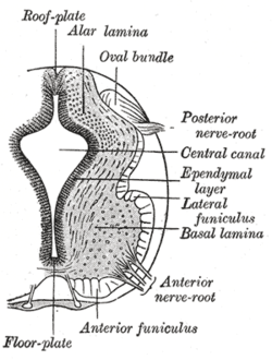 Basal Plate Neural Tube Wikipedia