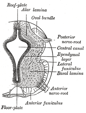 Basal plate (neural tube) - The basal plate (basal lamina) is separated from the alar plate (alar lamina) by the sulcus limitans (unlabeled).