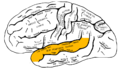 Gray726 superior temporal gyrus.png