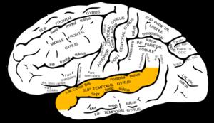 gyri - wikimedia commons, Human Body