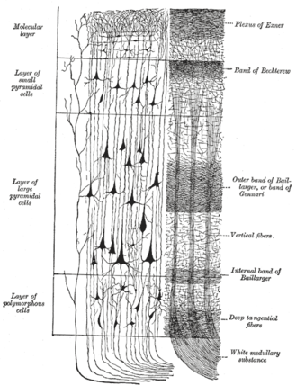 Line of Gennari - Cerebral cortex. To the left, the groups of cells; to the right, the systems of fibers. Quite to the left of the figure a sensory nerve fiber is shown.