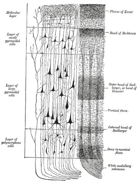 Isocortex und Allocortex – Wikipedia