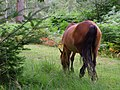 Grazing pony, Frame Heath Inclosure, New Forest - geograph.org.uk - 510034.jpg