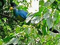Great Blue Turaco (Corythaeola cristata) (6930379490).jpg