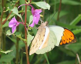 Great Orange Tip (Hebomoia glaucippe). Thane, Maharashtra..jpg