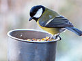 Great Tit (8268022990).jpg