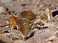 Great orange tip from Melagiri TN IMG 6407.jpg