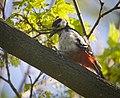 Great spotted woodpecker (47693631111).jpg