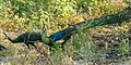 Green Peafowl - Baluran NP - East Java MG 7995 (29726908551).jpg