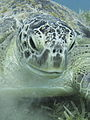 Green sea turtle portrait.JPG