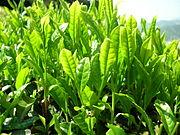 Imagenes sobre el Te 180px-Green_tea_leaves