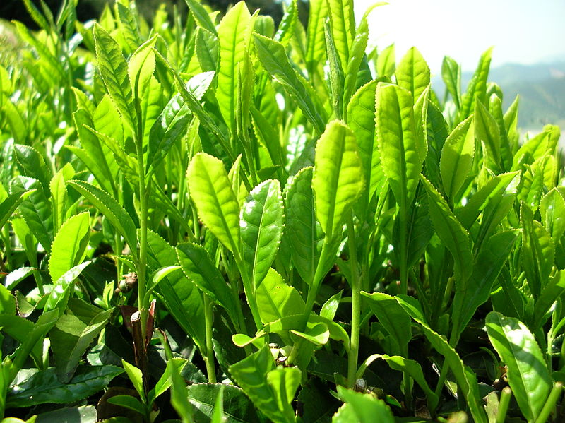 File:Green tea leaves.jpg