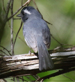 Grey-throated Chat.tif