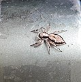 Grey colored jumping spider.jpg