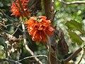 Greyia sutherlandii, bloeiwyse, Manie van der Schijff BT, d.jpg