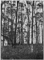 Growing Black Locust Trees figure 19.jpg