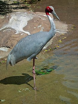 Grus antigone -Denver Zoo, Colorado, USA-8a.jpg
