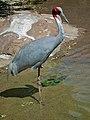 Grus antigone -Denver Zoo, Colorado, USA-8a.jpg