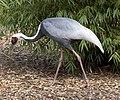 Grus vipio -Birmingham Nature Centre, Cannon Hill Park, England-8a.jpg