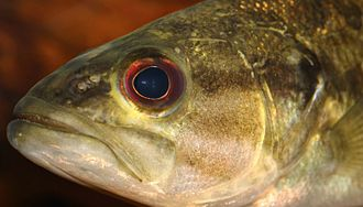 Guadalupe bass - Image: Guadalupe bass Micropterus treculii