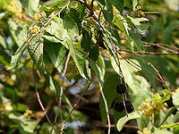 Guazuma ulmifolia (West Indian Elm) with fruits W IMG 8269