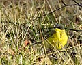 Gulärla Nordlig ras Dark-headed Wagtail (20324239406).jpg
