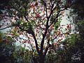 Gulmohar tree.jpg