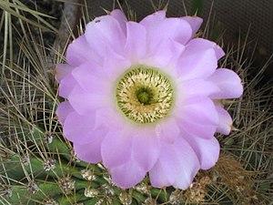 Acanthocalycium - The flower of acanthocalycium spiniflorum