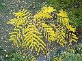 Gymnocladus dioicus Berlin Bernauer TP05.jpg