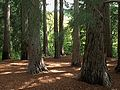 H20140710-3031—Sequoia Grove as sun breaks through the marine layer—RPBG (14585231538).jpg