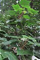 HK 上環 Sheung Wan 水坑口街 Possession Street Footbridge green leaves Candlenut 石栗樹 Aleurites moluccana tree Sept 2017 IX1 01.jpg
