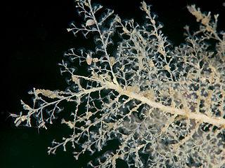 <i>Halecium muricatum</i> species of cnidarian
