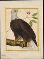 Halliaeëtus leucocephalus - 1700-1880 - Print - Iconographia Zoologica - Special Collections University of Amsterdam - UBA01 IZ18100317.tif