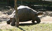 A tartaruga-das-galápagos (Geochelone nigra spp.) Harriet (c.1830-2006), que viveu aproximadamente 176 anos