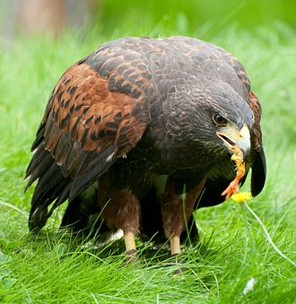 Harris's hawk - Eating chick's leg