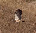 Hawk 4 (7978595512).jpg