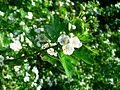 Hawthorn blossom 2.JPG