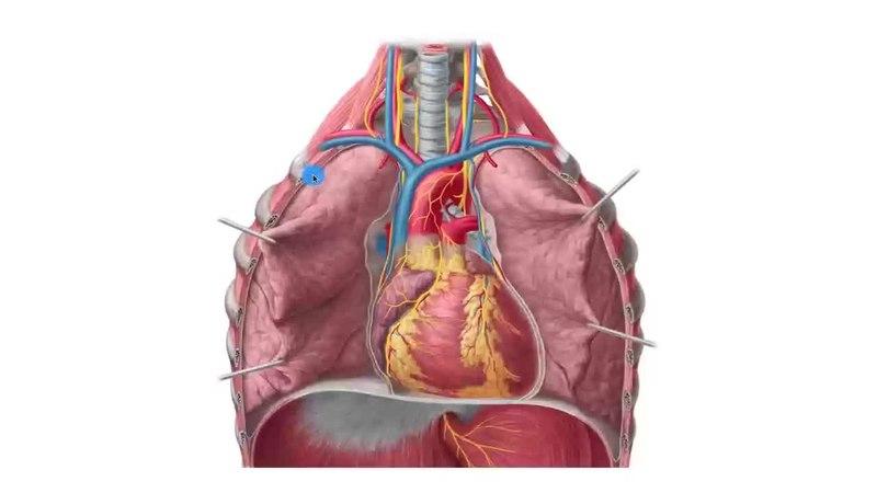 Fileheart Anatomy Anterior View Preview Human Anatomy Kenhub